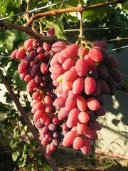 сад и виноград и его секреты