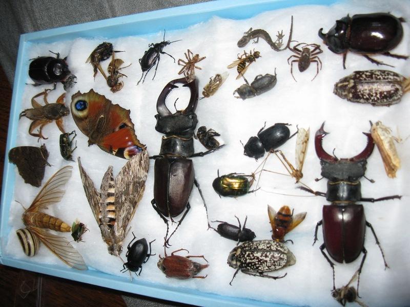 Насекомые коллекция своими руками