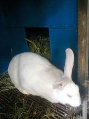 Продам кроликов породы HYPLUS