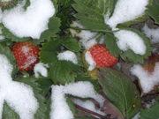 Рассада и семена клубники ремонтантной ,   а также однократного плодоношения