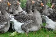 Продам стадо гусей