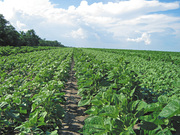 семена подсолнечника, кукурузы, сорго, ярого ячменя