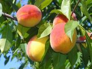 Предлагаю саженцы персика