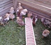 Цыплята ливенские сытцевые