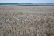 семена озимой пшеницы,