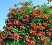 Многолоетние цветы,  декоративные кустарники,  хвойные,  вьющиеся