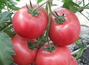 помидоры серии Сибирский сад  Русская Тройка