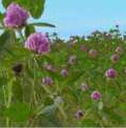 Семена Суданки,  Люцерны,  кормовой Свеклы,  садовых и газонных Трав