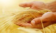 Продаем пшеницу фуражную