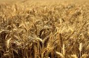Пшеница,  кукуруза,  соя,  подсолнечник. Закупка.