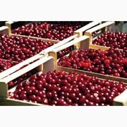 Прием вишни у заготовщиков и населения