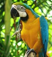 Говорячи синій і золотий ара